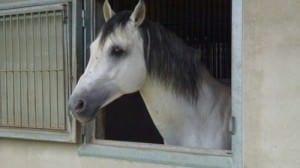 Weißes Pferd im Stall
